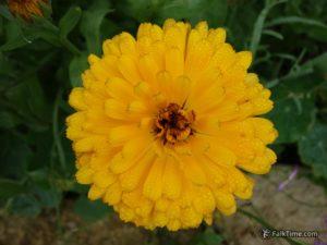 Raindrops on calendula flower