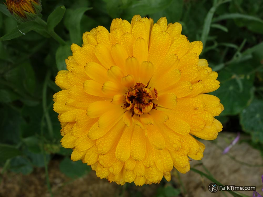 Raindrops on calendula flower